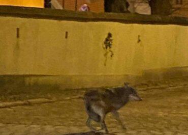 Wilk na Śródce