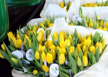 MPK Poznań znów będzie obdarowywać pasażerki kwiatami