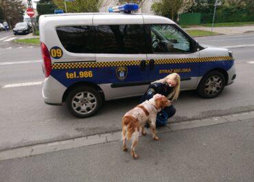Pies biegał po ruchliwym skrzyżowaniu w Poznaniu. Złapała go straż miejska